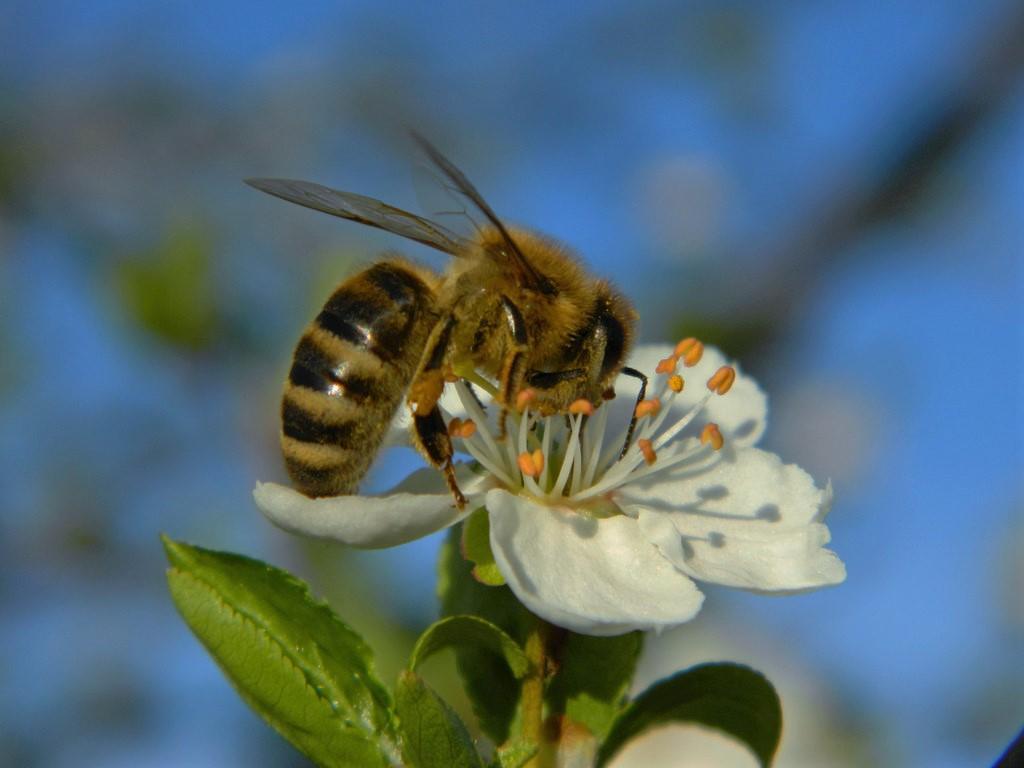1. Slika Čebele