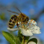 60Slika Čebele
